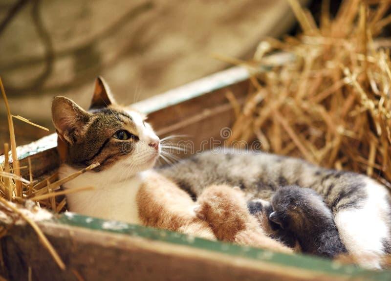 Η γάτα δίνει θηλάζει τα κουτάβια της στοκ φωτογραφία