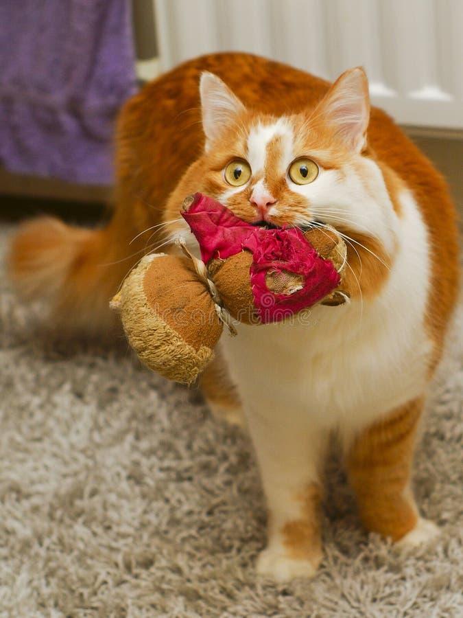 η γάτα είναι στον τάπητα με την παλαιά κούκλα στο στόμα της στοκ φωτογραφίες με δικαίωμα ελεύθερης χρήσης