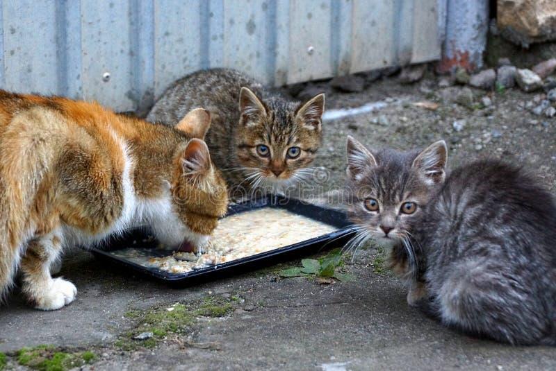 Η γάτα και τα γατάκια τρώνε από ένα κύπελλο στο πεζοδρόμιο κοντά στο φράκτη στοκ εικόνες