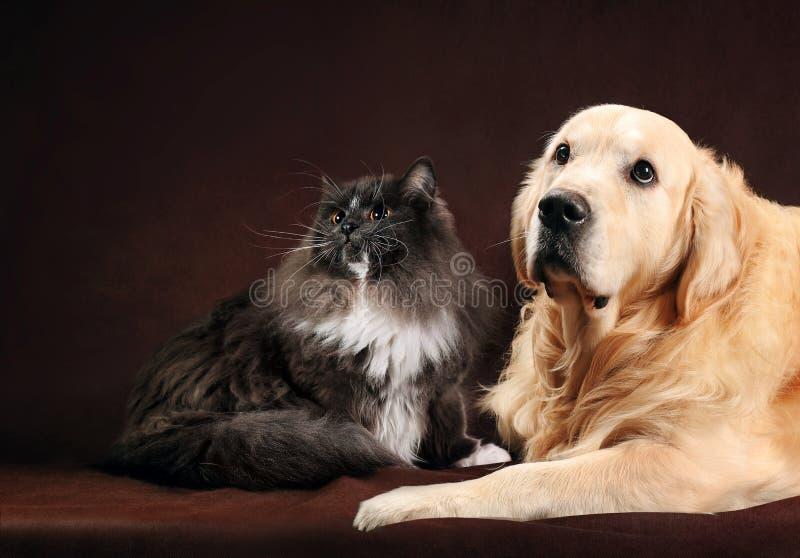 Η γάτα και το σκυλί, abyssinian γατάκι, χρυσό retriever εξετάζουν το αριστερό στοκ φωτογραφία