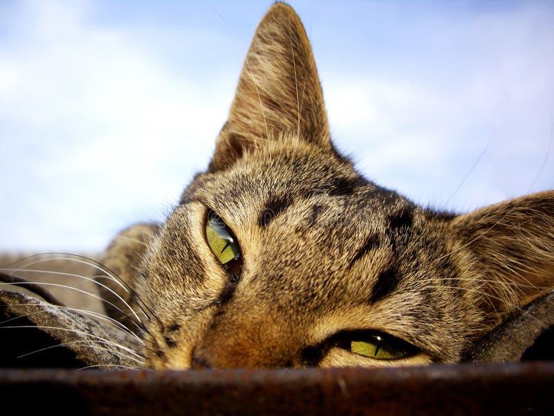 η γάτα κοιτάζει επίμονα στοκ φωτογραφία με δικαίωμα ελεύθερης χρήσης
