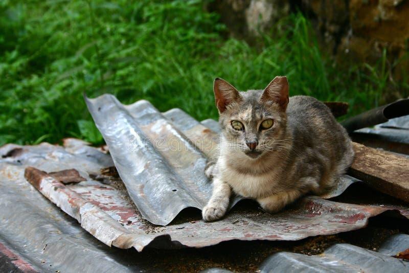 η γάτα κοιτάζει επίμονα στοκ εικόνα