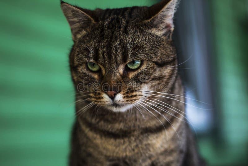 Η γάτα με τα πράσινα μάτια και ένας 0 κοιτάζουν επίμονα στοκ εικόνες με δικαίωμα ελεύθερης χρήσης