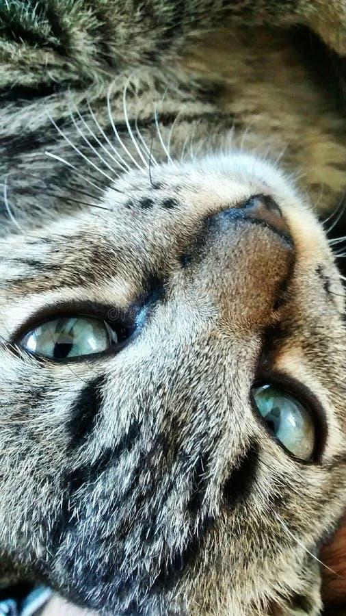 Η γάτα μου Mufasa στοκ φωτογραφία με δικαίωμα ελεύθερης χρήσης