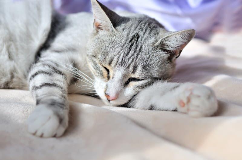η γάτα ονειρεύεται το γλ&u στοκ εικόνες