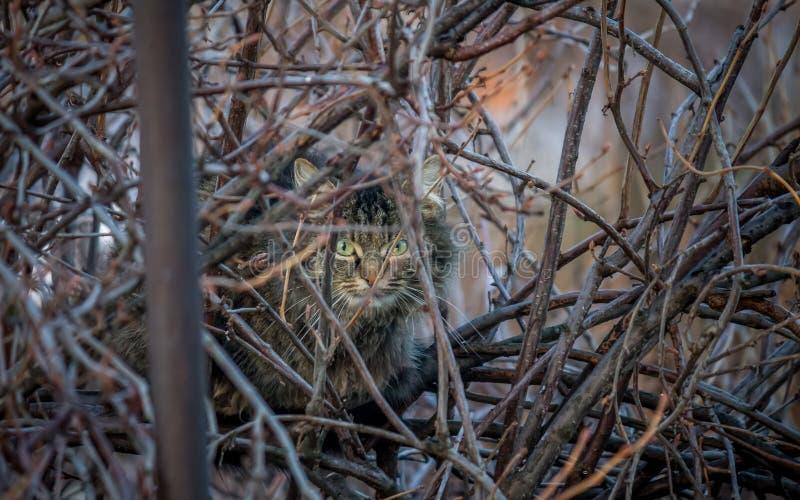 Η γάτα οδών κάθεται μεταξύ των κλάδων και να κοιτάξει επίμονα στοκ εικόνες