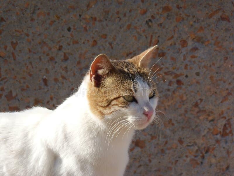 Η γάτα οδών με τα πράσινα μάτια και ακονίζει mustache στοκ εικόνες