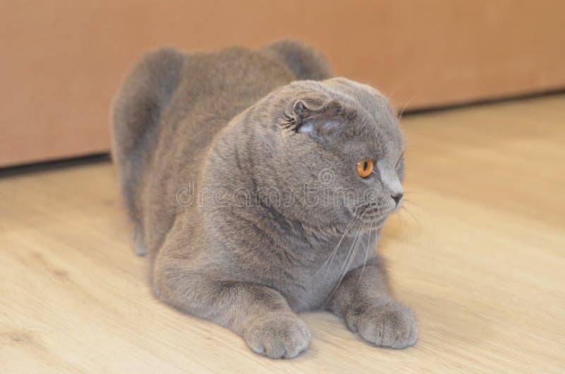 Η γάτα πτυχών Skottish στοκ φωτογραφία με δικαίωμα ελεύθερης χρήσης