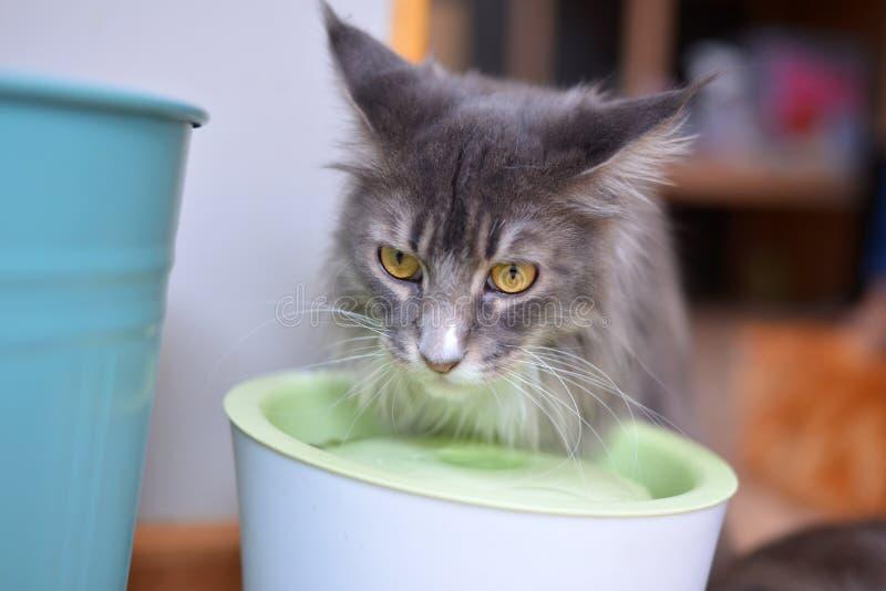 Η γάτα τρώει το νερό στοκ εικόνες