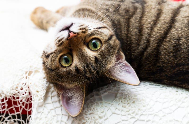 Η γάτα φαίνεται μάτια, το κεφάλι του που ξαναρίχνεται, τα κίτρινα μάτια ματιών γατών ` s όμορφα πράσινα στοκ φωτογραφία