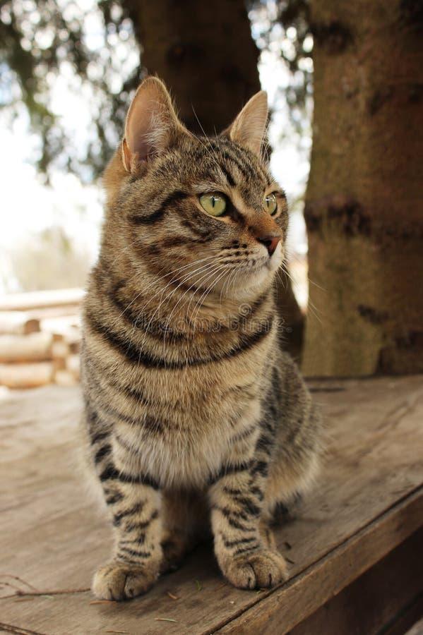 Η γάτα Barsik Mudlark yang κάθεται σε έναν ξύλινο πίνακα στοκ εικόνα