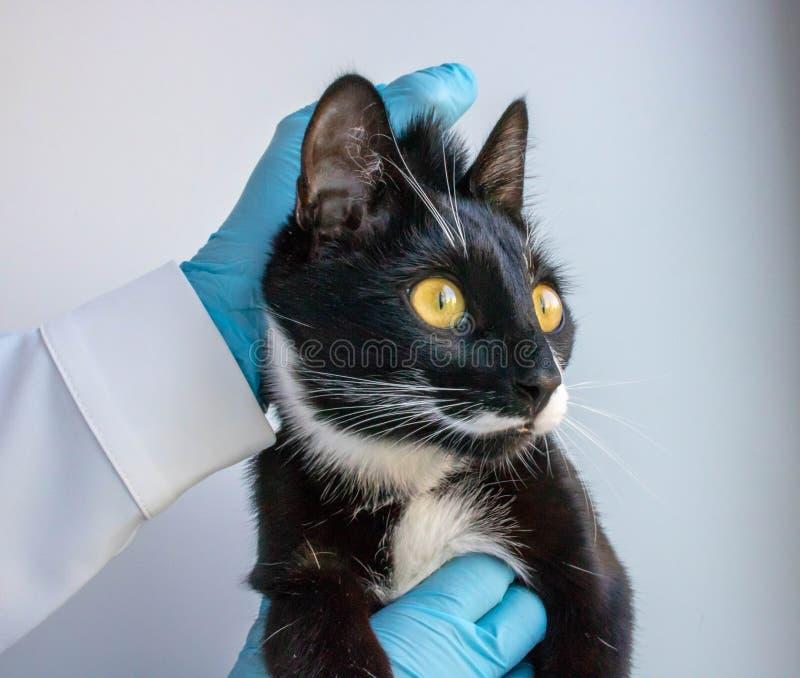 Η γάτα blac κρατά την κλινική γιατρών στοκ φωτογραφίες με δικαίωμα ελεύθερης χρήσης