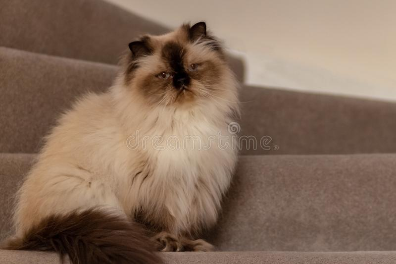 Η γάτα Himalayan με ένα hairstyle κάθεται σε μια μισό-στροφή στα σκαλοπάτια στοκ φωτογραφίες