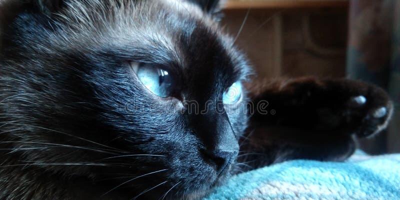 Η γάτα Siamese κοιτάζει έξω από το παράθυρο Κλείσιμο εικόνας στοκ φωτογραφίες