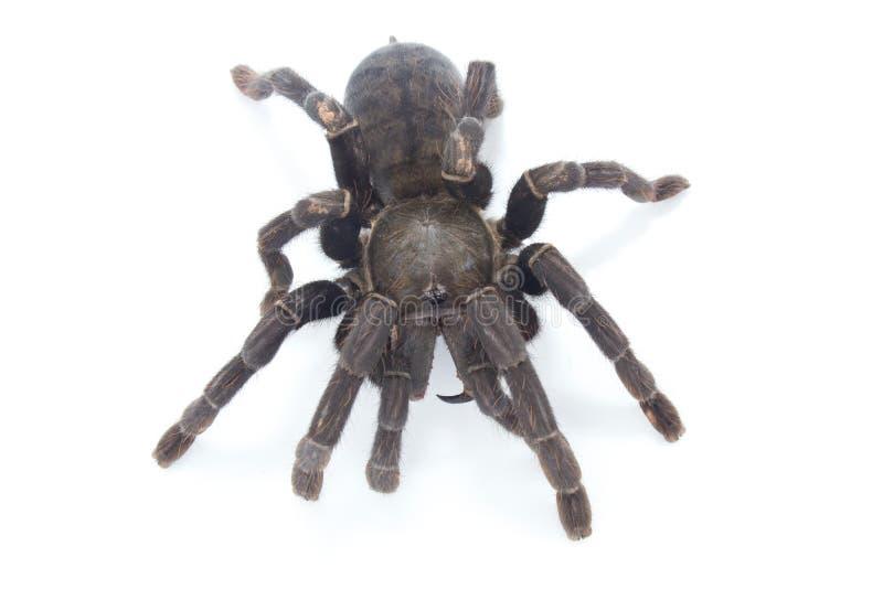 Η γιγαντιαία μαύρη αράχνη απομονώνει στο λευκό στοκ φωτογραφία