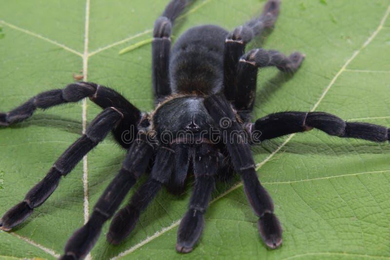 Η γιγαντιαία μαύρη αράχνη απομονώνει στο λευκό στοκ φωτογραφία με δικαίωμα ελεύθερης χρήσης