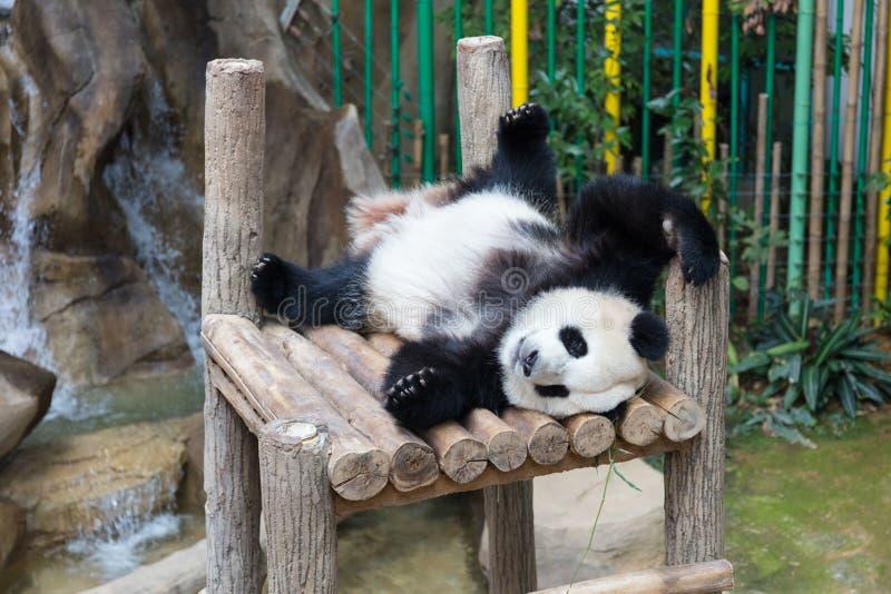 Η γιγαντιαία Panda που κοιμάται στην ξύλινη πλατφόρμα στοκ φωτογραφία με δικαίωμα ελεύθερης χρήσης