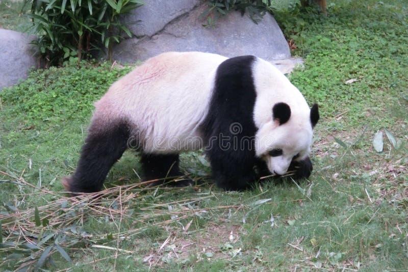 Η γιγαντιαία Panda που περπατά στο ωκεάνιο πάρκο στο Χονγκ Κονγκ στοκ φωτογραφία