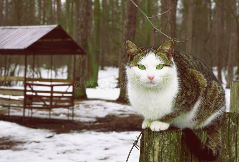Η γκρίζα άσπρη γάτα με τα κίτρινα μάτια κάθεται στο κολόβωμα στοκ φωτογραφία με δικαίωμα ελεύθερης χρήσης