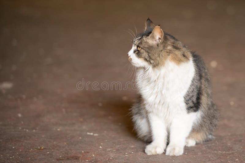 Η γκρίζα και άσπρη γάτα εκφόβισε την εξέταση τη συνεδρίαση καμερών στο έδαφος στο θολωμένο υπόβαθρο στοκ εικόνες