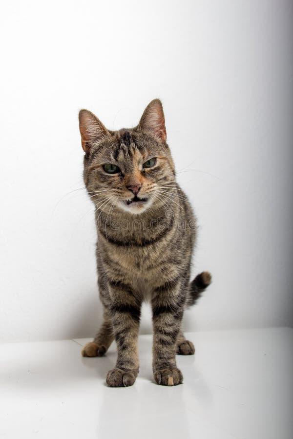 Η γκρίζα τιγρέ γάτα εξετάζει τη κάμερα στοκ φωτογραφίες