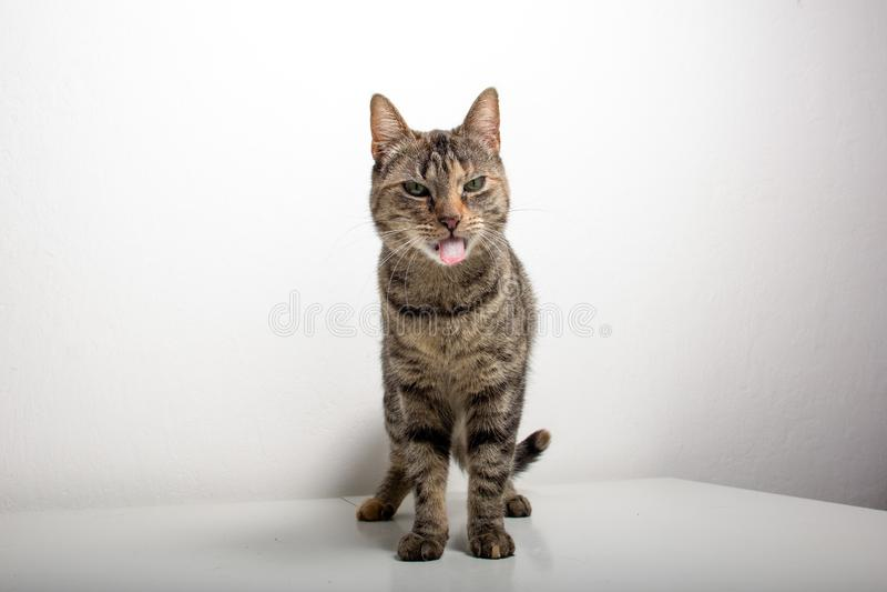 Η γκρίζα τιγρέ γάτα προσέχει κάτι στοκ εικόνες