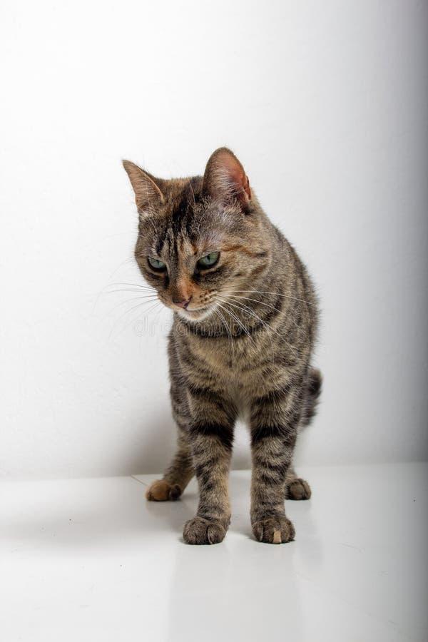 Η γκρίζα τιγρέ γάτα προσέχει κάτι στοκ φωτογραφία