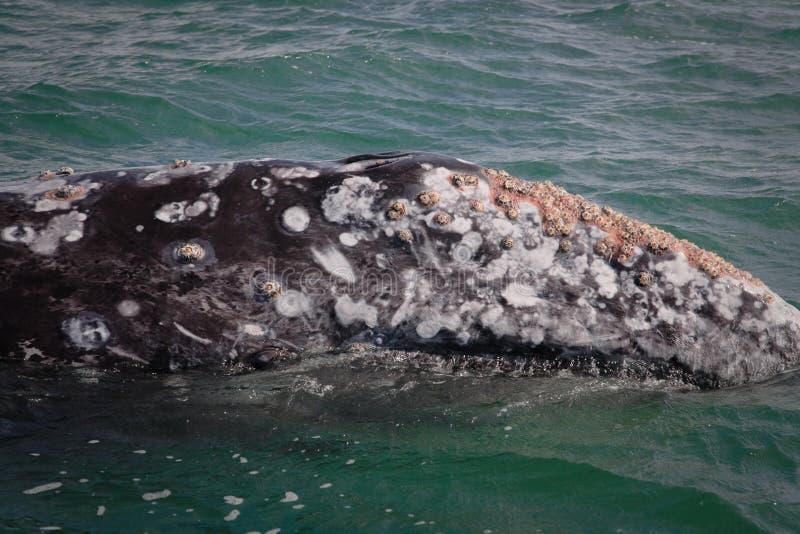 η γκρίζα φάλαινα στοκ φωτογραφία με δικαίωμα ελεύθερης χρήσης