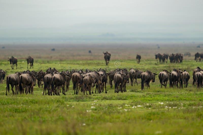 Η γραμμή άσπρος-γενειοφόρου πιό wildebeest μεταναστεύει πέρα από το λιβάδι στοκ φωτογραφίες με δικαίωμα ελεύθερης χρήσης
