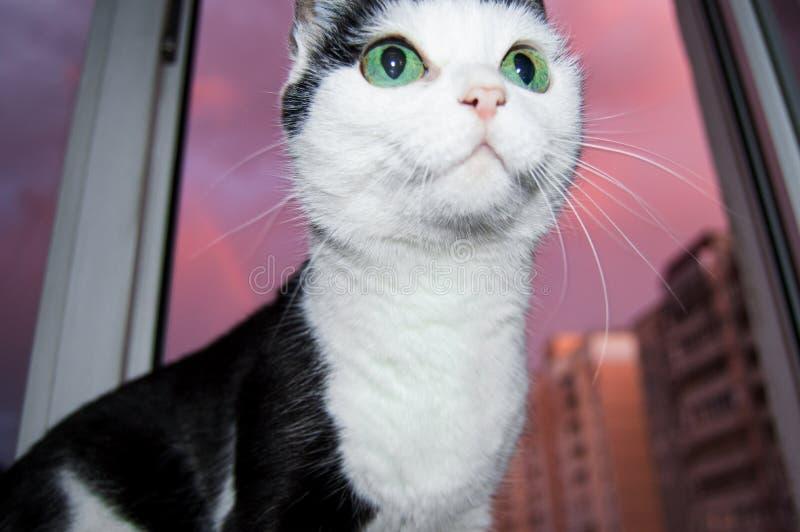 Η γραπτή έκπληκτη και αστεία γάτα με τα μεγάλα πράσινα μάτια κάθεται στο παράθυρο ενάντια στο ρόδινο ηλιοβασίλεμα και εξετάζει το στοκ εικόνα