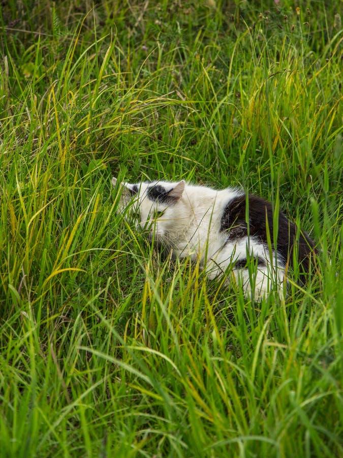Η γραπτή γάτα βρίσκεται στην πράσινη χλόη στοκ φωτογραφία με δικαίωμα ελεύθερης χρήσης