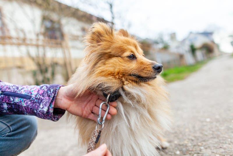 Η γυναίκα δένει το γλυκό τσοπανόσκυλο Shetland της στοκ φωτογραφίες