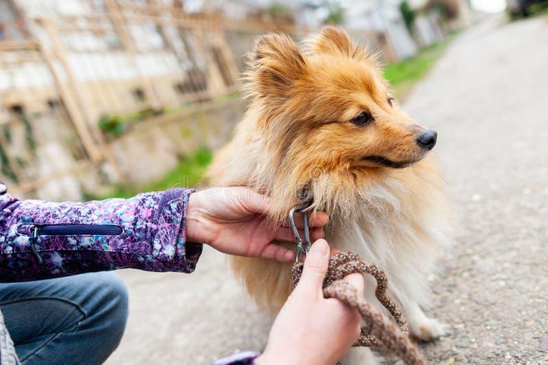 Η γυναίκα δένει το γλυκό τσοπανόσκυλο Shetland της στοκ εικόνα με δικαίωμα ελεύθερης χρήσης