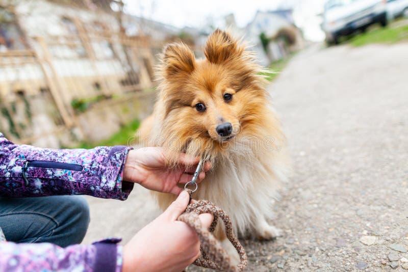 Η γυναίκα δένει το γλυκό τσοπανόσκυλο Shetland της στοκ εικόνες με δικαίωμα ελεύθερης χρήσης