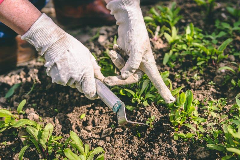 Η γυναίκα παραδίδει τα γάντια και η σκαπάνη μεταχειρίζεται τις εγκαταστάσεις στον κήπο στοκ εικόνα