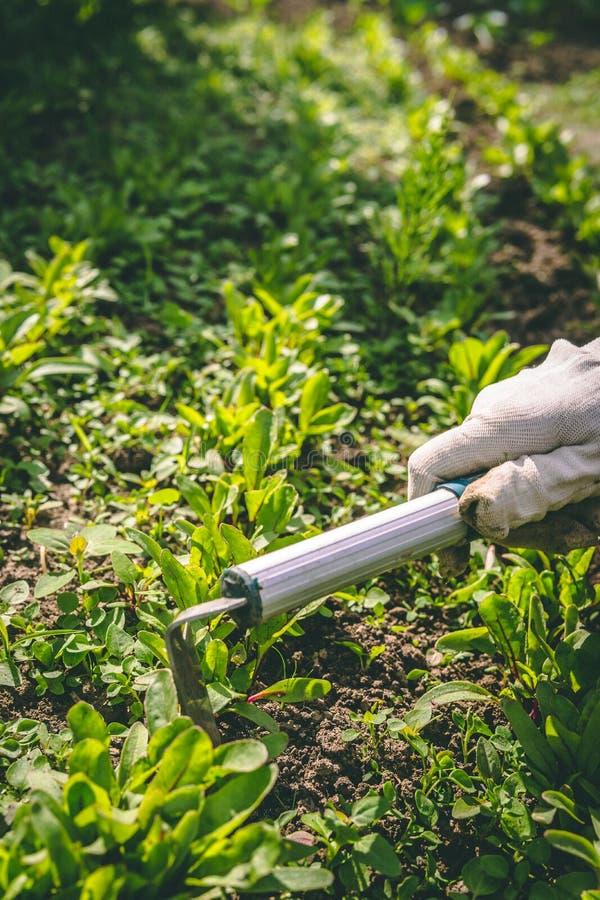 Η γυναίκα παραδίδει τα γάντια και η σκαπάνη μεταχειρίζεται τις εγκαταστάσεις στον κήπο στοκ φωτογραφία με δικαίωμα ελεύθερης χρήσης