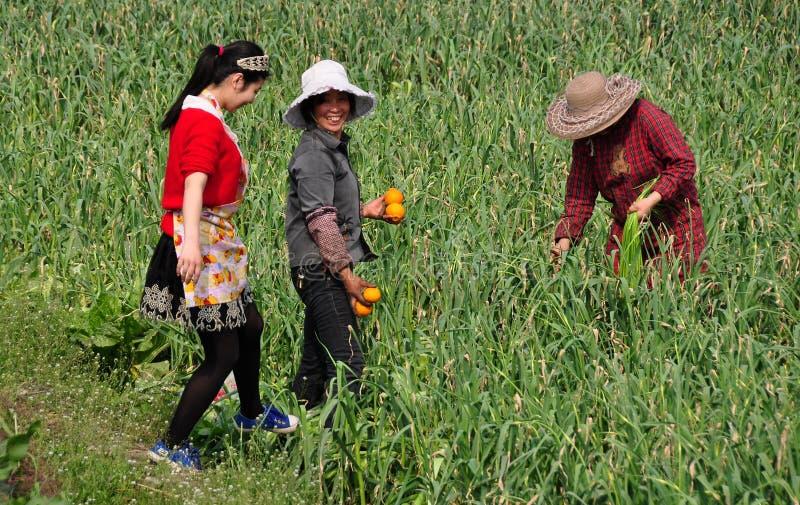 Pengzhou, Κίνα: Γυναίκες που επιλέγουν τα πράσινα σκόρδου στοκ φωτογραφίες