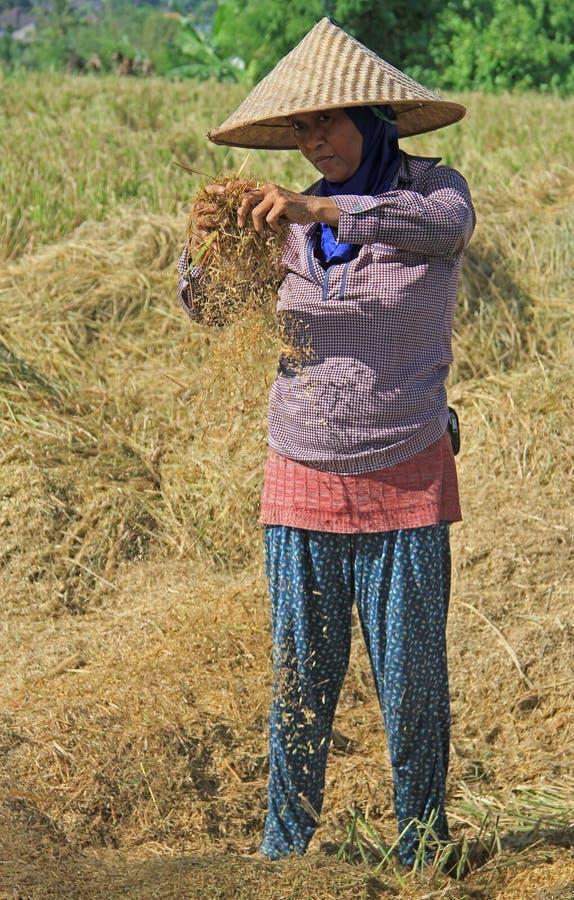 Η γυναίκα χωρίζει τα σιτάρια στον τομέα σχεδόν στοκ εικόνες με δικαίωμα ελεύθερης χρήσης
