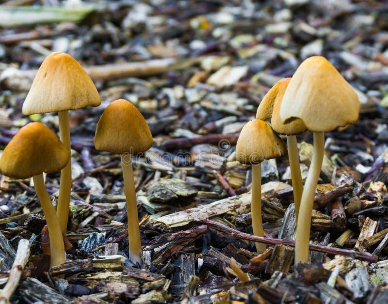 Η δέσμη λευκός dunce ΚΑΠ ξεφυτρώνει με τα με σχήμα καμπάνας καλύμματα αυξανόμενος σε κάποιο φυσικό δασικό υπόβαθρο φθινοπώρου ξύλ στοκ εικόνες