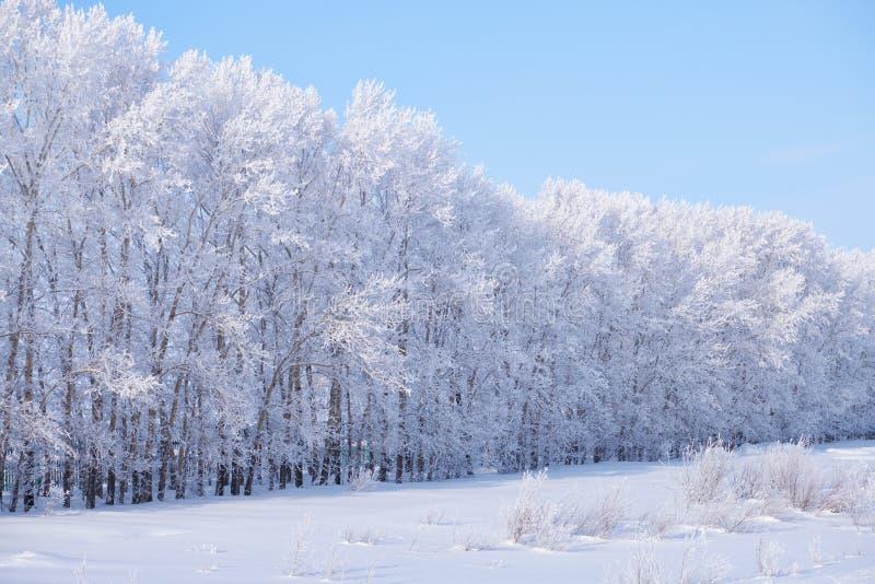 Η δασική ζώνη των δέντρων λευκών κάτω από το hoarfrost στον τομέα χιονιού κερδίζει μέσα στοκ φωτογραφία