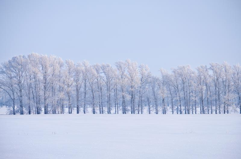 Η δασική ζώνη των δέντρων λευκών κάτω από το hoarfrost στον τομέα χιονιού κερδίζει μέσα στοκ φωτογραφία με δικαίωμα ελεύθερης χρήσης