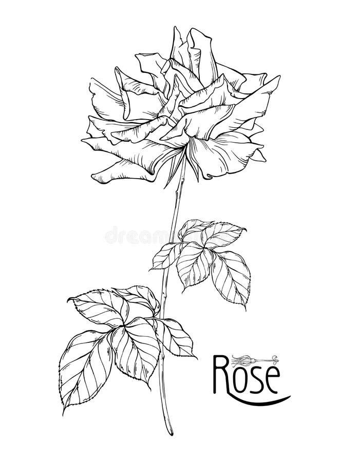 Η διανυσματική floral ρύθμιση με τα ροδαλά λουλούδια και αυξήθηκε οφθαλμοί στοκ εικόνα