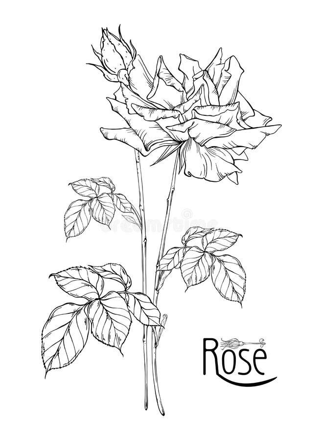 Η διανυσματική floral ρύθμιση με τα ροδαλά λουλούδια και αυξήθηκε οφθαλμοί στοκ εικόνα με δικαίωμα ελεύθερης χρήσης