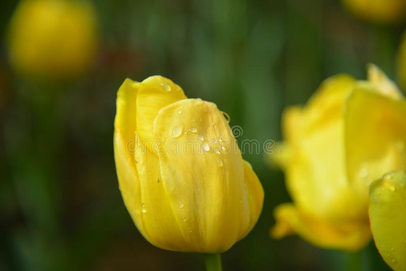 Η δροσιά πρωινού και οι κίτρινες τουλίπες διανυσματική απεικόνιση