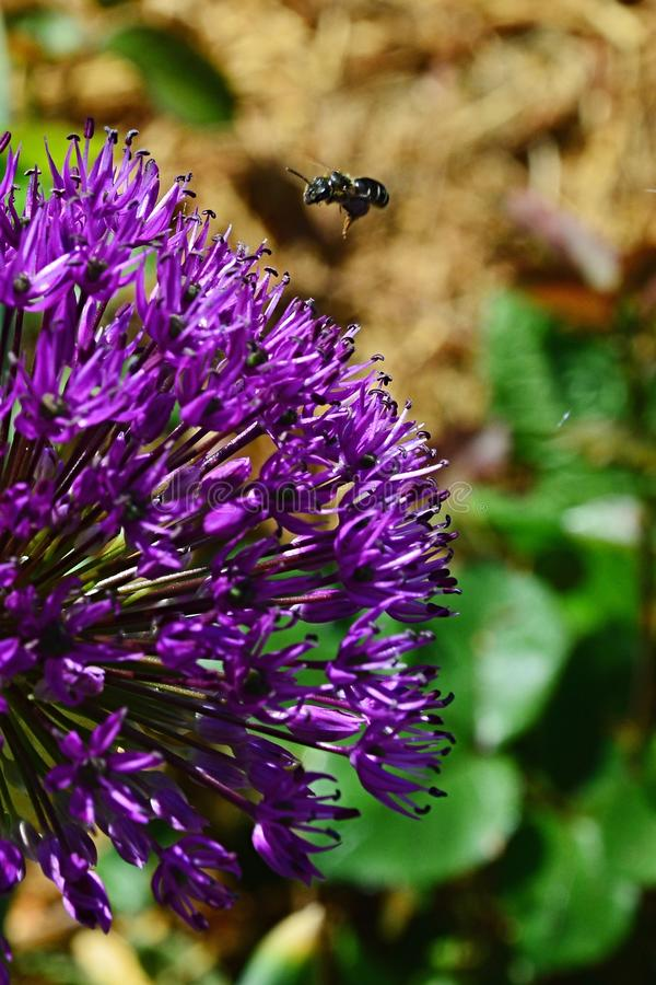 Η δυτική μέλισσα Apis Mellifera μελιού που προσγειώνεται στο διακοσμητικό ιώδες λουλούδι του περσικού κρεμμυδιού, κάλεσε επίσης τ στοκ φωτογραφία