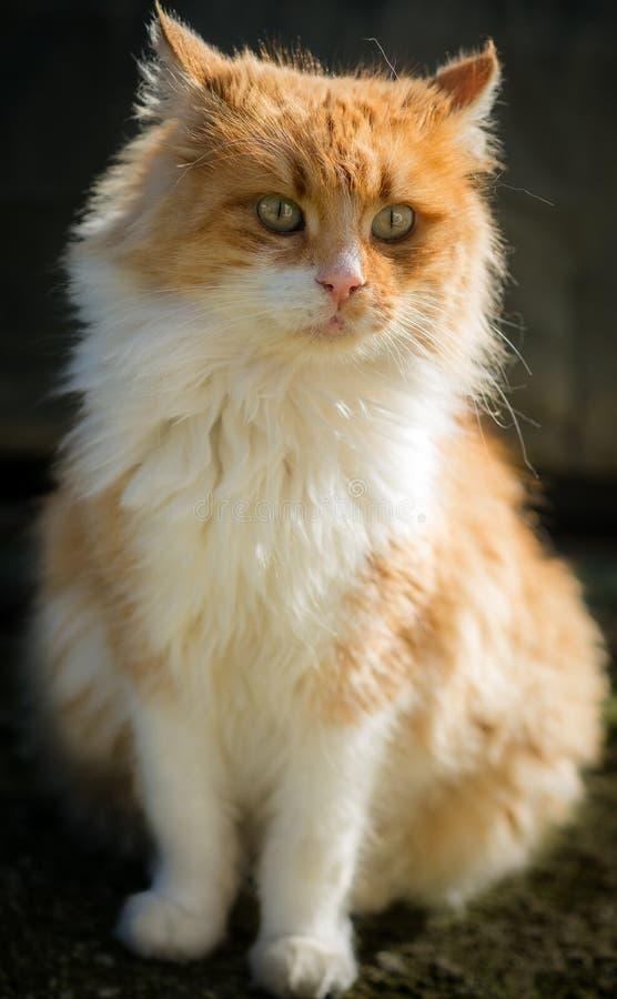 Η δύναμη να κοιτάξει επίμονα γατών στοκ φωτογραφία