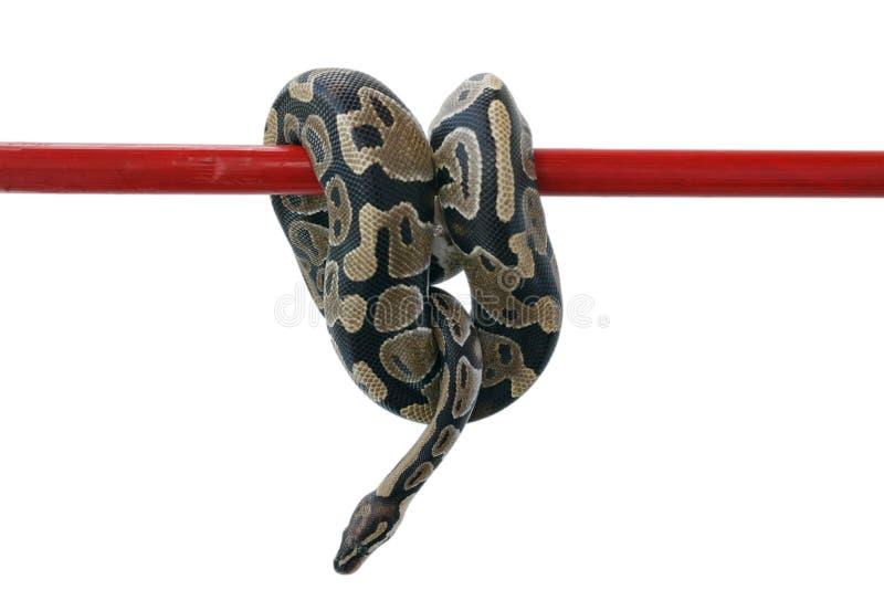 Η εικόνα ενός βασιλικού ή μιας σφαίρας python που κρεμά σε ένα άσπρο υπόβαθρο στοκ εικόνα με δικαίωμα ελεύθερης χρήσης