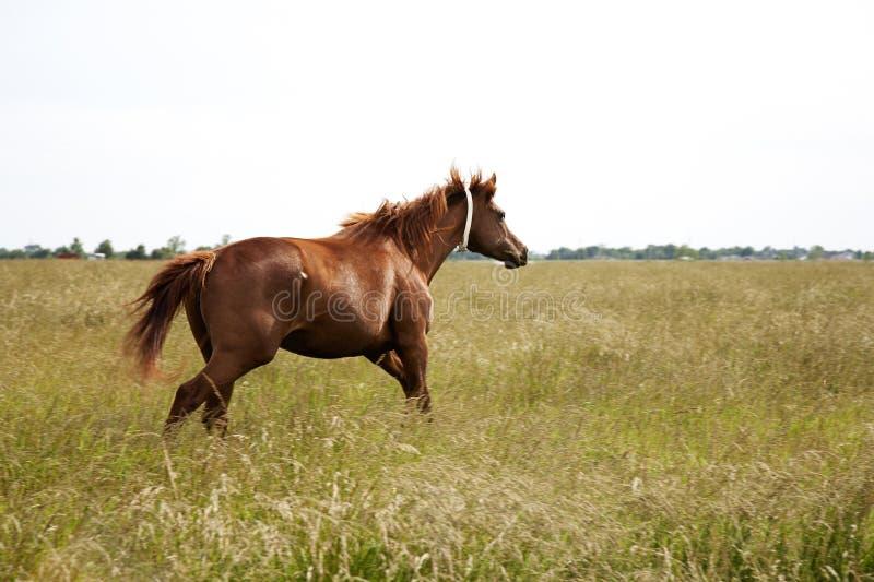 Η εικόνα ενός καφέ ο τρέχοντας τομέας φοράδων αλόγων Thoroughbred άλογα κάστανων στοκ εικόνες