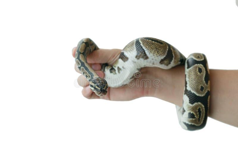 Η εικόνα του βασιλικού ή της σφαίρας python σε ετοιμότητα του ατόμου στοκ φωτογραφίες με δικαίωμα ελεύθερης χρήσης