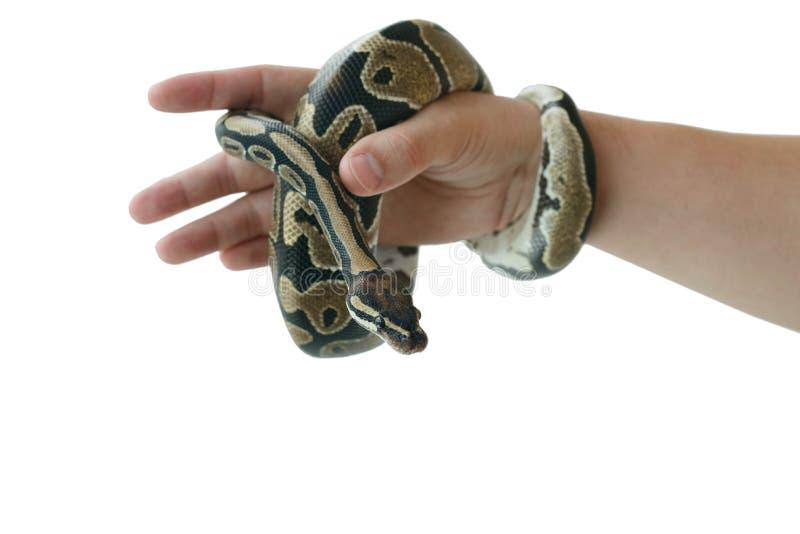 Η εικόνα του βασιλικού ή της σφαίρας python σε ετοιμότητα του ατόμου στοκ εικόνα